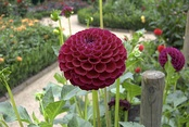 Dahlia plants are perennial.