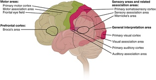 Cortical areas
