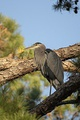 A great blue heron in a pine tree, Leon County, Florida, USA