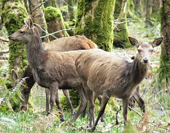 Red deer (Cervus elaphus) in Killarney National Park