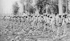 Prisoners farming cotton under the trusty system in Parchman Farm, Mississippi, 1911