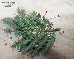 Rachis of Vachellia karroo bipinnate leaf, with components labelled as follows:  A. Rachilla (the diminutive of rachis)  B. Pinnule  C. Jugary glands  D. Juga (plural of jugum)  E. Base of petiole  F. Petiolary gland  G. Rachis