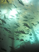 Blue rockfish in kelp forest