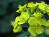Жёлтые цветки B. rapa chinesis
