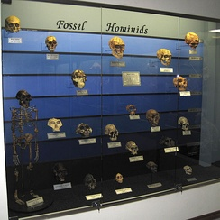 Fossil hominid skull display at The Museum of Osteology in Oklahoma City, USA