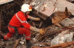 Urban Search and Rescue Task Force German Shepherd dog works to uncover survivors at the site of the collapsed World Trade Center after the September 11, 2001, attacks.