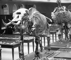 Los Angeles Museum of Natural History showing displays of prehistoric skeletons, ca.1920