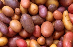 Various potato cultivars