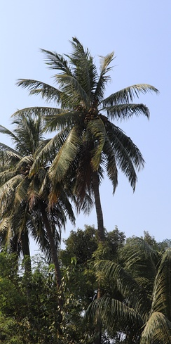 'West Coast Tall' (WCT) variety is a long-lived and sturdy palm indigenous to the western coast of India.