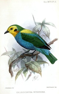 Chlorochrysa nitidissima. Colombia is home to more bird species than any other country in the world.