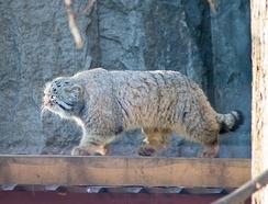 Манул в Московском зоопарке