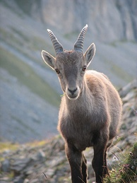 Young alpine ibex. When fully grown the horns of this male will be about one metre wide.