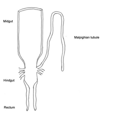 Stylised diagram of the last part of the insect's digestive tract showing malpighian tubule (Orthopteran type)