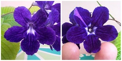 Left: A normal zygomorphic Streptocarpus flower. Right: An aberrant peloric Streptocarpus flower. Both of these flowers appeared on the Streptocarpus hybrid 'Anderson's Crows' Wings'.
