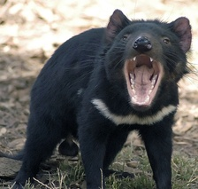 The Tasmanian devil, officially listed as an endangered species in 2008.