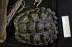 Turtle shell calendar