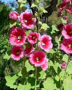 Alcea rosea is a common garden flower in Malvaceae