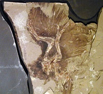 Anchiornis huxleyi is an important source of information on the early evolution of birds in the Late Jurassic period.[16]