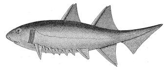 Реконструкция Euthacanthus macnicoli (хорошо видны шипы при плавниках и промежуточные шипы)