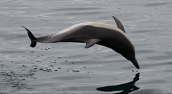 A common dolphin in the Bay of Gibraltar