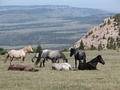 Feral horses in the Pryor Mountain Wild Horse Range in Montana