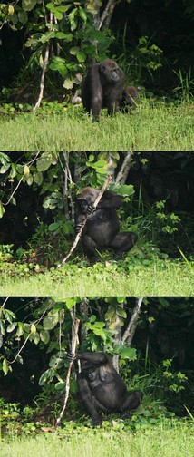 A female gorilla exhibiting tool use by using a tree trunk as a support whilst fishing herbs