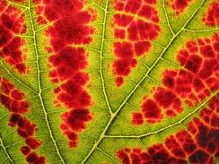 В этом листе жилки всё ещё зелёные, в то время как остальная ткань красная.