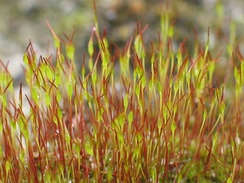 Young sporophytes of the common moss Tortula muralis (wall screw-moss)