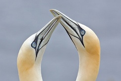 Northern gannets billing.