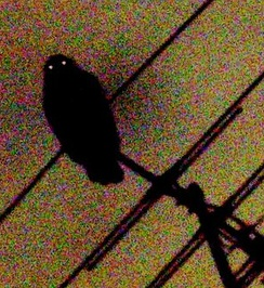 A powerful owl photographed at night showing reflective tapeta lucida