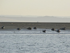 Seals off Southend