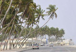 Coconut trees line the beaches and corniches of Oman.