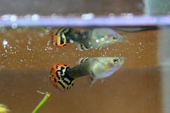 Guppy mating behavior is believed to be culturally influenced.