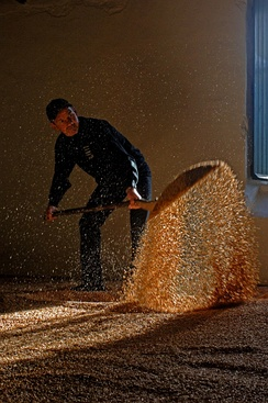 An employee of the Springbank distillery turning the barley on the floor malting