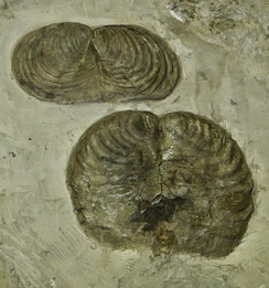 Palaeontologists are limited to morphological evidence when deciding whether fossil life-forms like these Inoceramus bivalves formed a separate species.