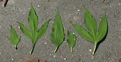 Variation in leaves from the giant ragweed illustrating positional effects. The lobed leaves come from the base of the plant, while the unlobed leaves come from the top of the plant.