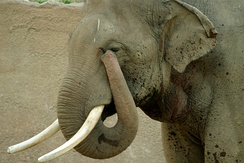 Elephants have prehensile noses.