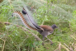 Male superb lyrebird (Menura novaehollandiae): This very primitive songbird shows strong sexual dimorphism, with a peculiarly apomorphic display of plumage in males.