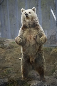 Like all bears, brown bears can stand on their hindlegs and walk for a few steps in this position, usually motivated to do so by curiosity, hunger or alarm