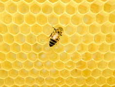 A Western honey bee on a honeycomb