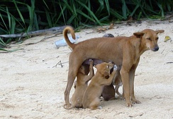 A feral dog from Sri Lanka nursing very well-developed puppies