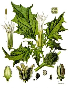 Datura stramonium has been used in Ayurveda for various treatments, but contains alkaloids, such as atropine and scopolamine, which may cause severe toxicity.[38]