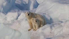 Mother and cub on Svalbard