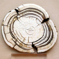 Section through the ivory tusk of a mammoth