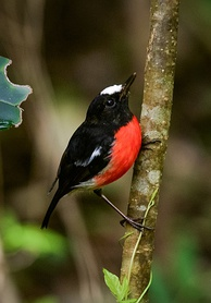 The Pacific robin inhabits the islands of the south western Pacific.[101]