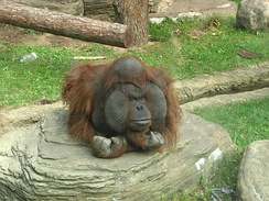 A male orangutan at Moscow Zoo. The male's face pad widens as he grows older.