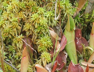 Sphagnum with northern pitcher plants at Brown's Lake Bog, Ohio.