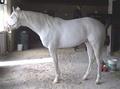 Белорождённая лошадь