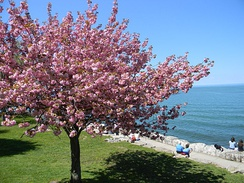 Cherry blossoms in Canada, Niagara-on-the-Lake, Ontario