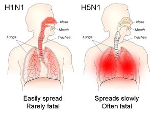 The different sites of infection (shown in red) of seasonal H1N1 versus avian H5N1. This influences their lethality and ability to spread.
